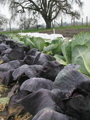 oak and cabbages_6_1