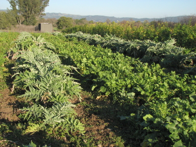 Daikon radishes are being harvested out of the cover crop between the rows of regrowing artichokes.