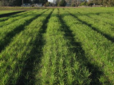 Wheat, Barley and Oats