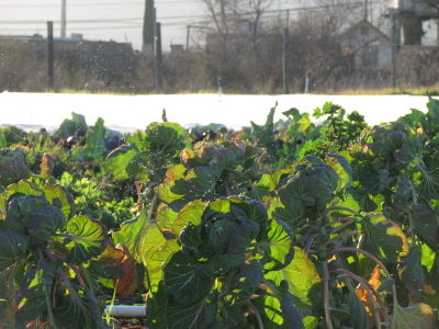 Brussels sprouts, covered bed and beyond the farm