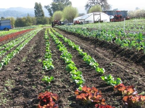 lettuce lines_4_1_1