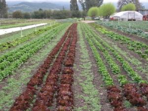 Lettuce rows