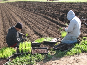 Onions being separated before planting.