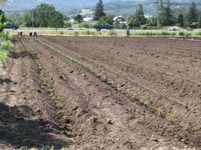 tomato planting 2_4_1
