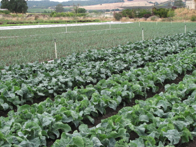 We've been enjoying an abundance of brassicas (broccoli, cauliflower and cabbage) which are finishing up. Luckily, this next planting should be ready in a couple of weeks.