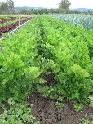 Celery is coming soon.