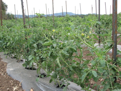 The first planting of tomatoes is flowering. Planting through plastic helps push it along. It's already been staked and tied.