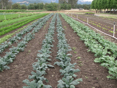 So glad to see two beds of Lacinato kale next to one of Red Russian. The RR yields more, but we can't keep up with demand for the Lacinato.