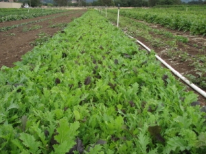 A bed of Asian greens for the salad mix.