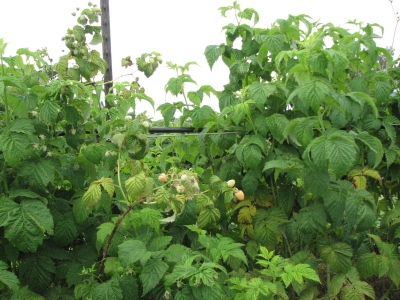 Finally we have fruit on the raspberries, weeks later than in past years.