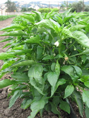 The first planting of peppers is looking good. The shishitos and padrons are always the first to set fruit.