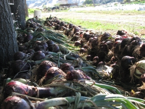 Rows of red onions are drying in the shade. Properly grown and cured dry onions should be good through the winter.
