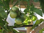 Growing heirloom tomatoes under the greenhouse tables. We just had our first ripe pink brandywine, last night!