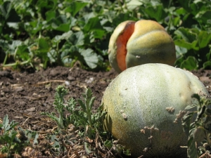 Cracked melons litter the field. You can smell their sweetness.
