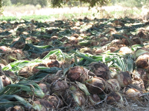 Onions drying under a giant oak.