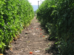 tomatoes_11_1