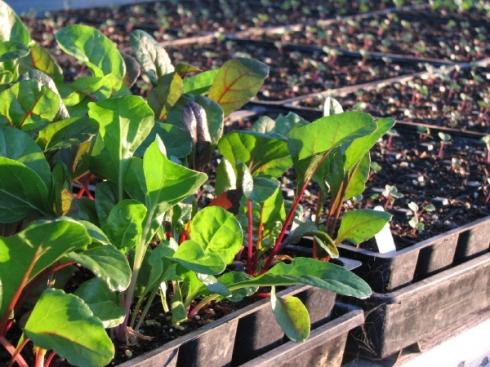 greenhouse chard_3_1
