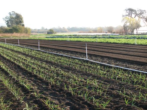 Garlic and leeks are next to the open beds, ready for the carrot seeds.