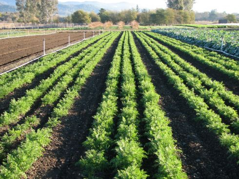 Conveniently next to the carrots being planted are 5 beds of carrots almost ready to pick.