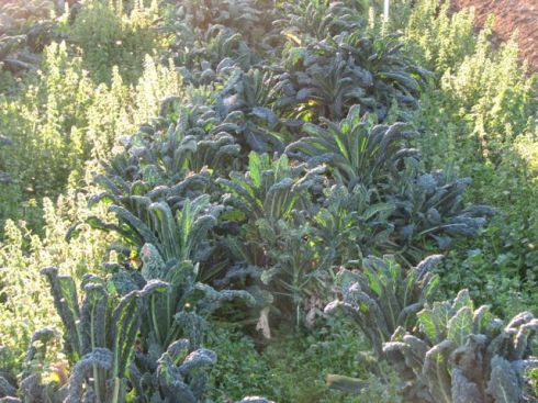 Lacinato kale is crowning up.
