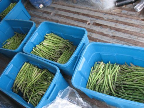 Asparagus harvest today