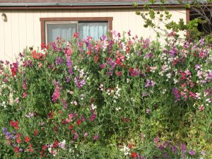 Even the sweet peas at home are growing like crazy.