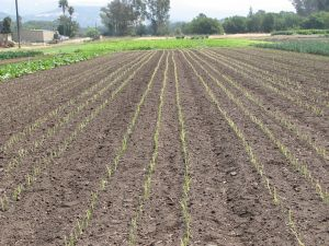 This bed of just planted shallots is growing on buried drip line, a refinement we hope will save precious water.