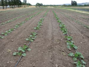 Winter squash field