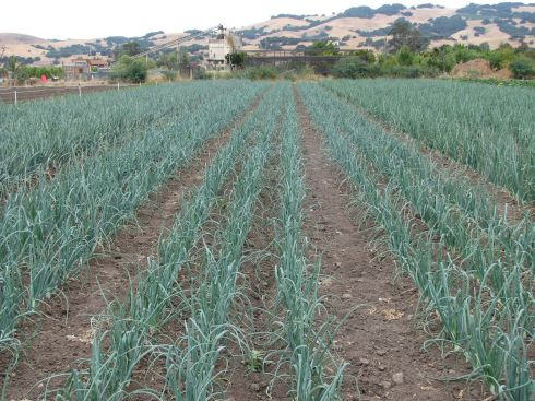 Onion beds are such an extraordinary color.