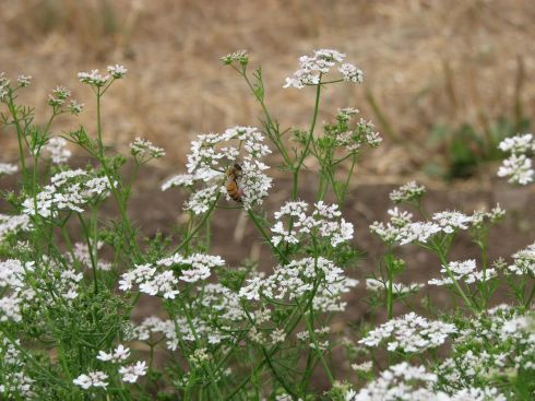 Flowering cilantro is humming with bees.