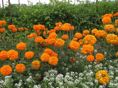 Allysum, marigolds and tomatillos