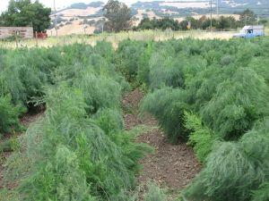 Shaggy asparagus