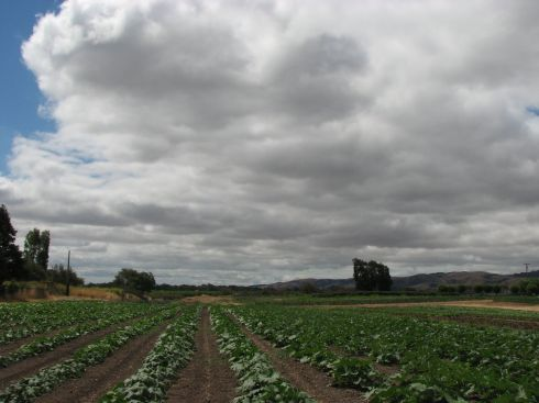 Cloudy skys over the winter squash field. The plants are taking off, but not yet flowering.