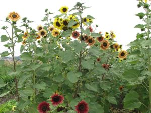 We've been selling sunflowers at our farm stand on Saturdays.