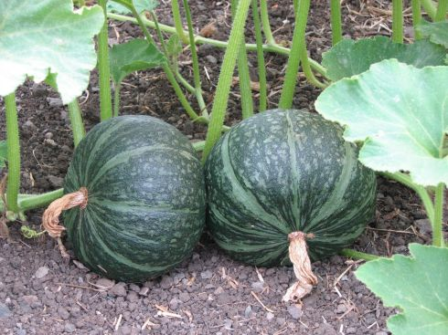 These kabocha winter squash are close to harvest.