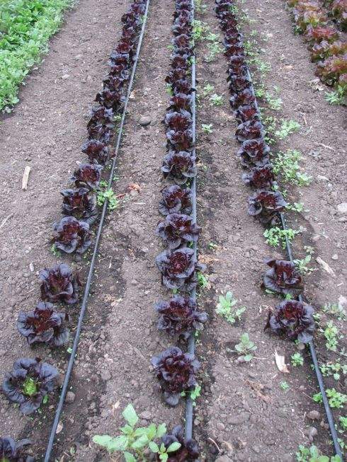 Rhazes, our new red little gem lettuce