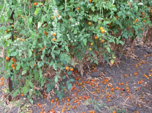 Cherry tomatoes are dropping.