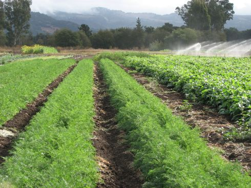 Carrots in the foreground. It didn't rain enough to keep the irrigation from happening.