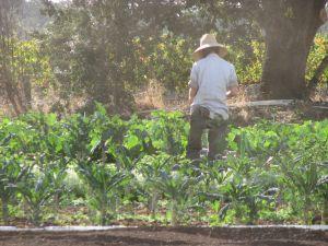Kristen picking kale