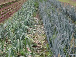 Two kinds of leeks, King Richard on the left and Lexton on the right.