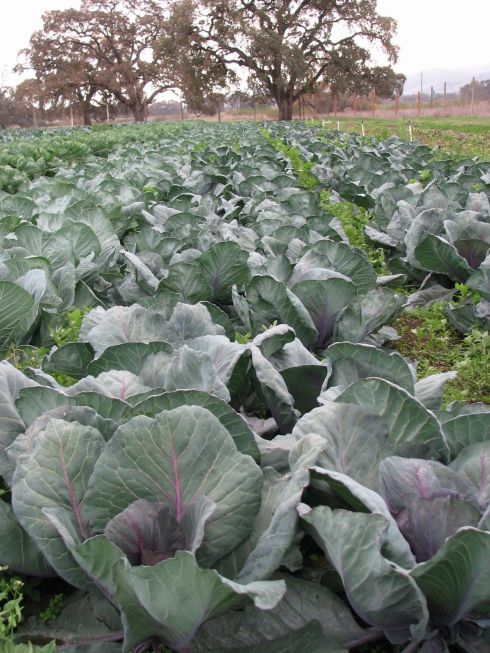 Silvery red cabbage leaves