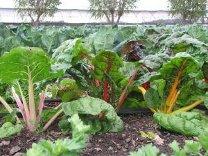 Rainbow chard is loving this cooler, wetter weather.