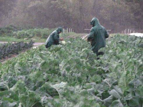 Picking broccoli in the rain.