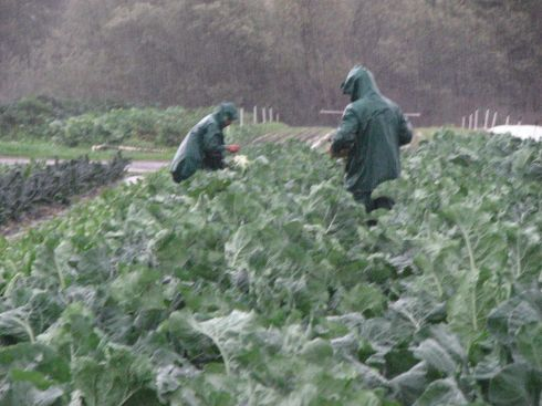 Picking broccoli in the rain.