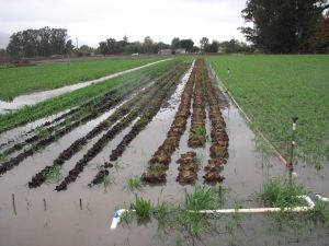Lettuce beds partially flooded.