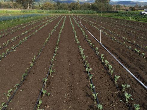 Yesterday's brassica planting