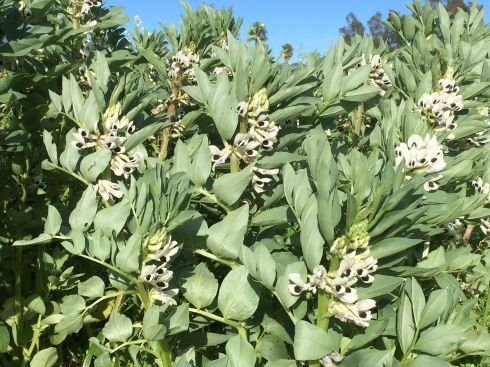 Fava beans are blooming madly.