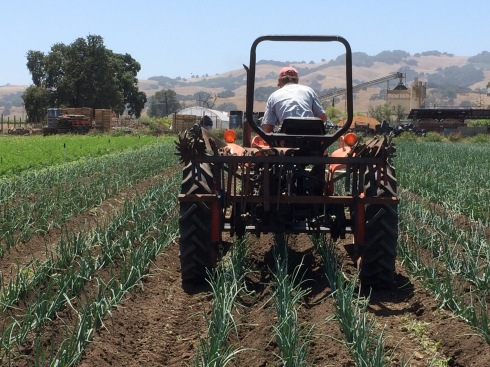 Cultivating onions
