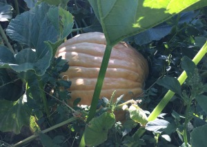 Giant pumpkins are revealing themselves by the Farm Stand.