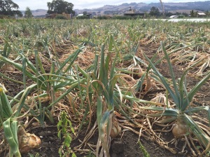 August 23, onions drying down